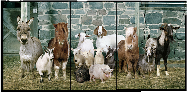 Best of 2014: Glamour Shots for Goats: jux-rob_macinnis-1.jpg