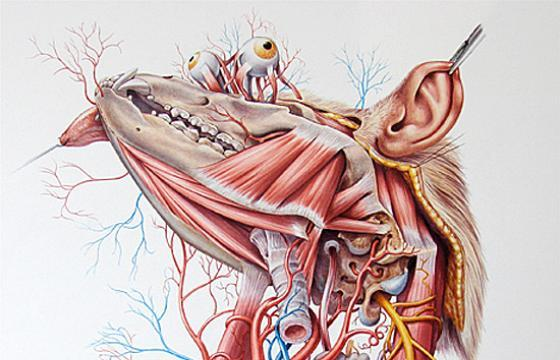 Anatomical Works by Roberto Osti